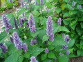 HYSSOP 牛膝草 (Hyssopus officinalis)