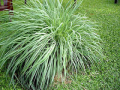 CITRONELLA 香茅 (Cymbopogon nardus)