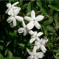 JASMINE 苿莉 (Jasminum grandiflorum)