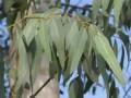 EUCALYPTUS 藍膠尤加利 (Eucalyptus globulus)