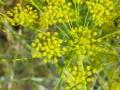DILL SEED 時蘿籽 (Peucedanum graveolens)
