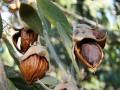 Jojoba Oil 可可巴油 (Simmondsia chinensis)