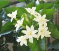 Jasmine Hydrosol茉莉純露 (Jasminum sambac)
