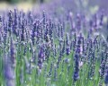 LAVENDER FRENCH 法國薰衣草 (Lavendula augustifolia)