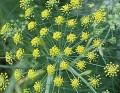 FENNEL SWEET  甜茴香 (Foeniculum vulgare)