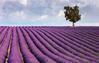 Lavender Hydrosol 薰衣草純露 (Lavandula angustifolia)