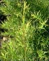 Tea Tree Hydrosol 茶樹純露 (Melaleuca alternifolia)
