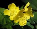 Evening Primrose Oil 月見草油 (Oenothera Biennis)