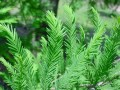 CYPRESS 絲柏 (Cupressus sempervirens)