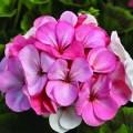 ROSE GERANIUM 玫瑰天竺葵 (Palargonium graveolens)