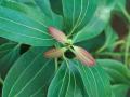 CINNAMON LEAF 肉桂葉 (Cinnamomum zelyanicum)