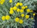 HELICHRYSUM/IMMORTELLE 永久花/蠟菊花 (Helichrysum angustifolium)
