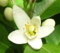 Neroli Hydrosol 橙花純露 (Citrus aurantium aur.)