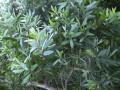 TEA TREE 茶樹 (Melaleuca alternifolia)
