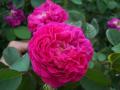 ROSE OTTO 奧圖玫瑰 (Rosa damascena)
