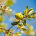 Argan Oil 摩洛哥堅果油 (Argania spinosa)