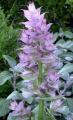 CLARY SAGE 快樂鼠尾草 (Salvia sclarea)